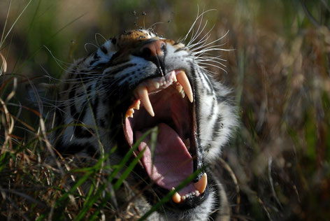 Tiger with open mouth showing his beautiful and sharp teeth, photographed in LIONSROCK, the FOUR PAWS Big Cat Sanctuary in Bethlehem, South Africa © VIER PFOTEN | Mihai Vasile