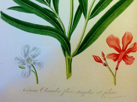 Weißer Oleander, Flora Italiana, Gaetano Savi, Österr. Nationalbibliothek