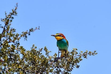 Die Karoo hat auch was für Birder: European Bee-Eater