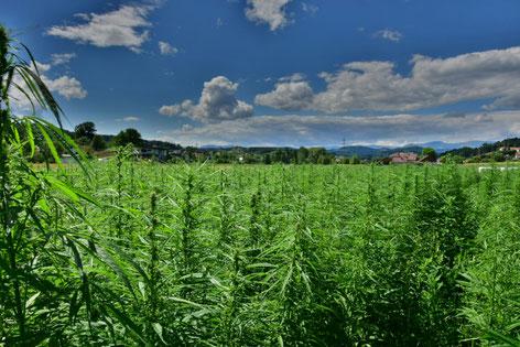 Hanffeld Industrie Hanf outdoor natur Finola