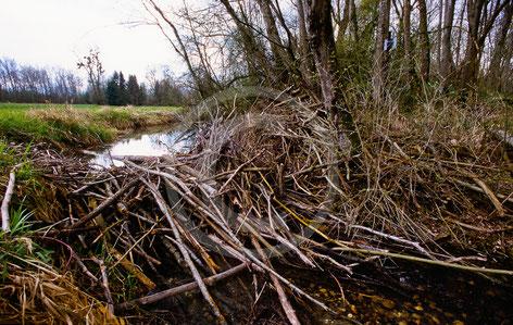 Biber, Konflikte, Schaden, Schadensersatz, Baumfällungen, Dammbau, Überschwemmung, Vernässung