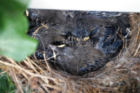 Six little wagtails are in the nest, Photo: Ulf F. Baumann