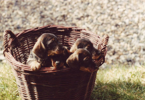 "Whirehaired Dachshund puppies, C-litter ""vom Kaufunger Wald"", 1988 Photo: Otto Weigel"