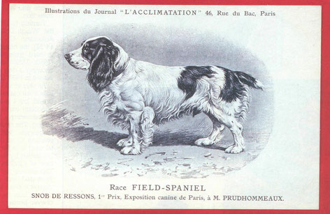 Field Spaniel der frühen Jahre, Foto: David Hancock