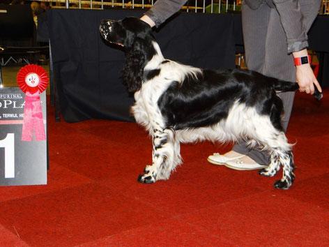 """""""Jolanthe vom Belauer See"""" wird bester Junghund in Groningen, Niederlande, Foto: Sebastian Feilke"""