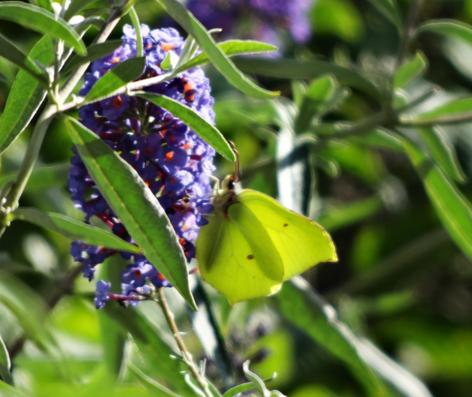 Bild: toller Kontrast ein Zitronenfalter auf lila Blüte
