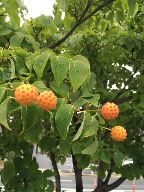 緑色のヤマボウシの葉っぱとオレンジの実。