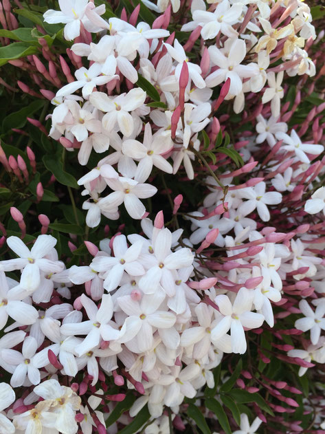 香りを楽しむ庭におすすめな植木 ハゴロモジャスミン