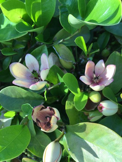カラタネオガタマの薄いクリーム色の花は今咲いています 2015年5月2日撮影