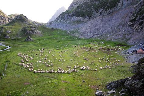 rassemblement des moutons dans la plaine de la Pra