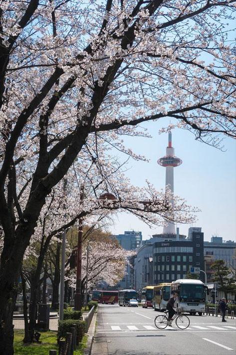 (京都桜の穴場)東本願寺東側の京都タワーと桜