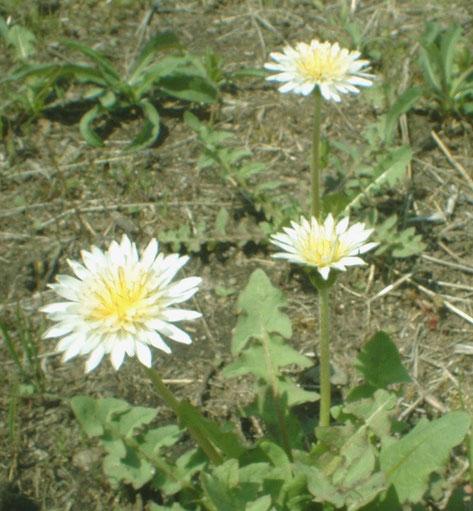 】白いたんぽぽの花(箕面で)