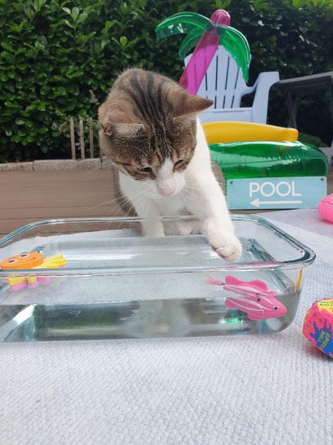 Katzenmädchen Kasi spielt gern mit Wasser