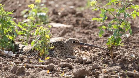 Perfekt getarnt: mit seinem braunen Gefieder ist der Brachvogel auf dem Acker kaum zu sehen.                  Foto: S. Hollerbach