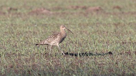 Der Große Brachvogel (Numenius arquata) gilt als vom Aussterben bedroht.                                                                              Foto: S. Hollerbach