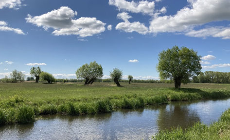 Durch regelmäßige Pflegemaßnahmen können Kopfweiden als wichtige Habitatbäume erhalten werden.                  Foto: S. Schneider, Biosphärenreservatsamt Schaalsee-Elbe