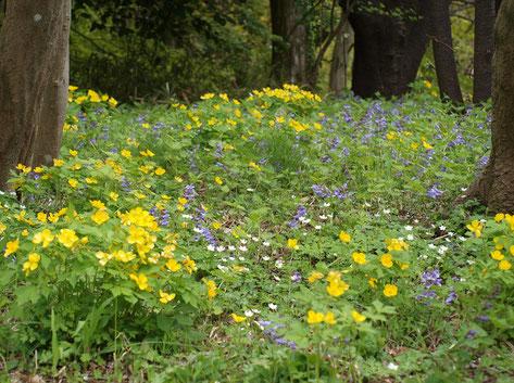 4月14日(2019) 野の花の響宴:桜がおおかた散るころ、今度は色とりどりの野の花が目を楽しませてくれます。黄色のヤマブキソウ、紫のラショウモンカズラ、白いニリンソウ、野の花の響宴です。野川公園・自然観察園にて