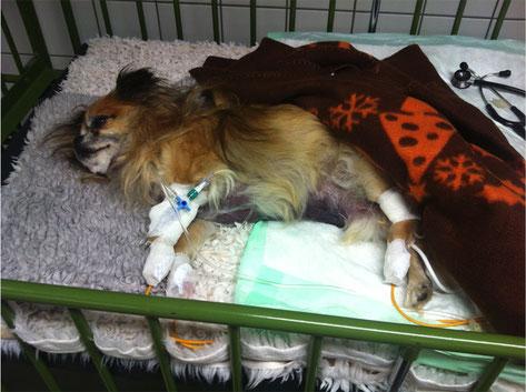 Bei diesem Hund kam es zu massiven Bauchblutungen.          Fotos © Dörfelt