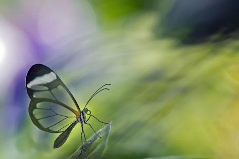 Glasflüglerschmetterling durchsichtige Flügel, grün, violett Hintergrund