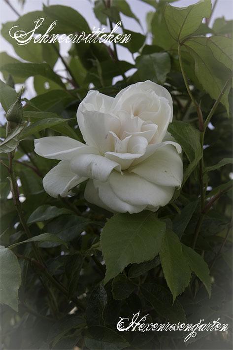 Rosen Hexenrosengarten Rosenblog  weiß Schneewittchen Kordes Trauerstamm Hochstammrose