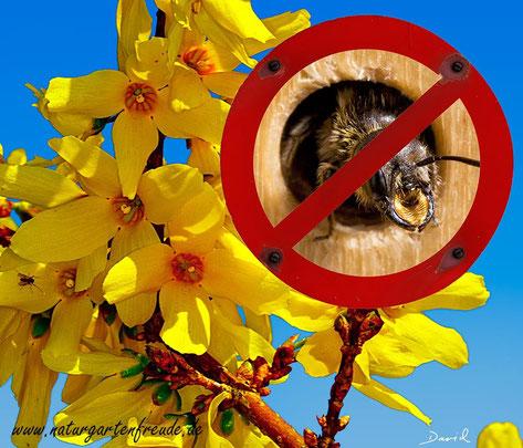 Für Insekten wertlos! Forsysthie Pollen Wildbienen Forsythia  wild bee