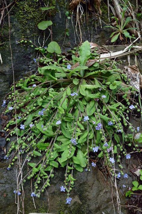 根生葉のロゼットから四方に茎を這わせ、その先に花をつけます