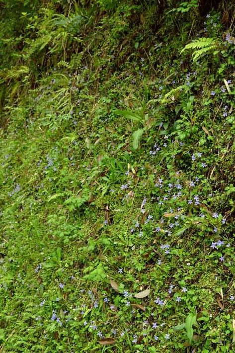 タチツボスミレ  他の植物もたくさん
