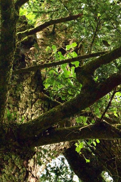ヤシャビシャク  (夜叉柄杓) ユキノシタ科 スグリ属 高木の上で遠い!