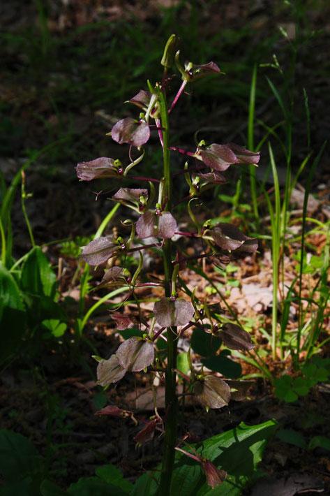 セイタカスズムシソウ 茎の高さは30cm位。 花は27個ついていた