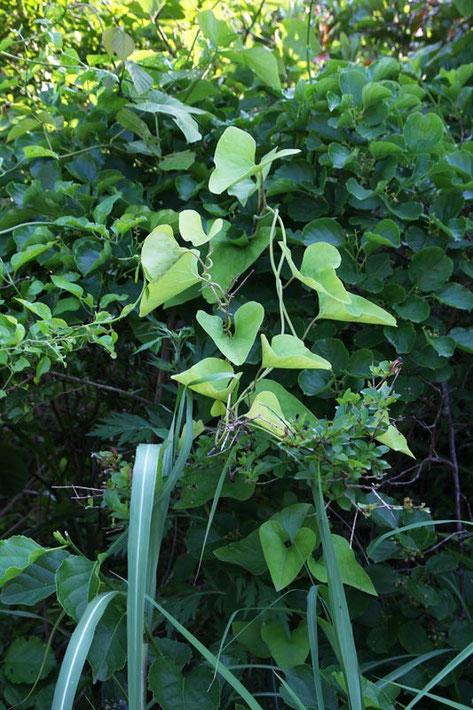 オオバウマノスズクサの葉を見つけた 残念ながら、花はまだなかった