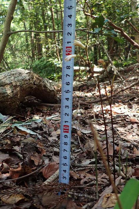 #3 エンシュウムヨウランの高さ測定。ここでは、高さ20cm前後の株が多かった