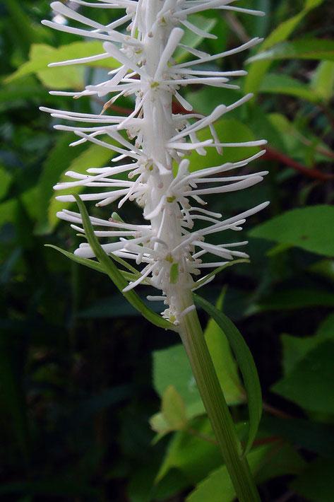 シライトソウの穂状花序の下部