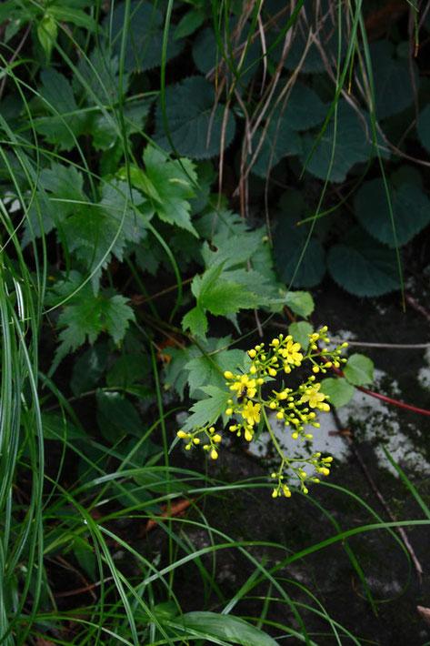 キンレイカ (金鈴花) オミナエシ科 オミナエシ属