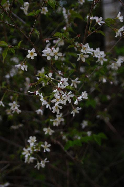 マメザクラ (豆桜) バラ科 サクラ属