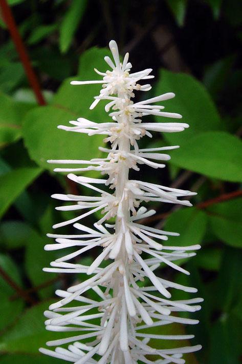 シライトソウの穂状花序の上部