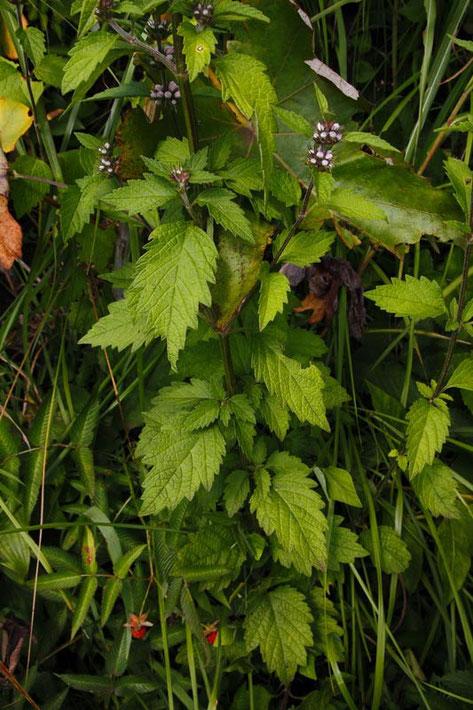 キセワタの葉