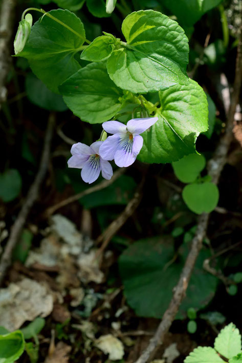 オオタチツボスミレ (大立坪菫) スミレ科 タチツボスミレ類