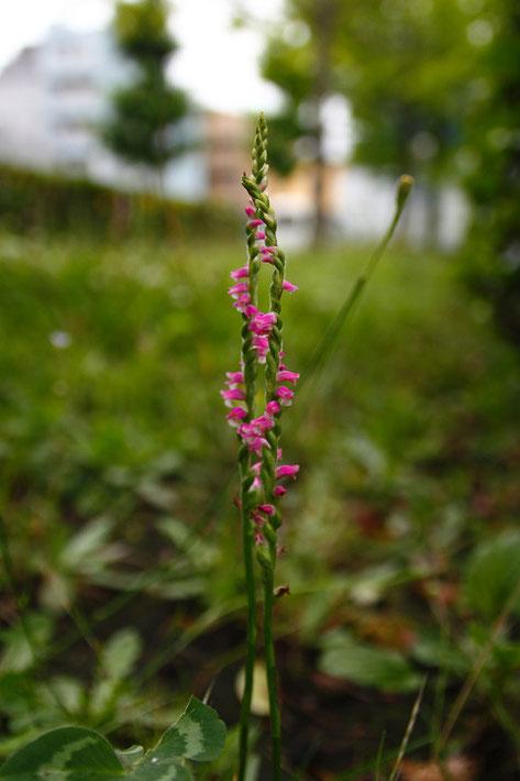 ネジバナの花序がねじれる方向は左右両方あり、出現率はほぼ等しいそうです。