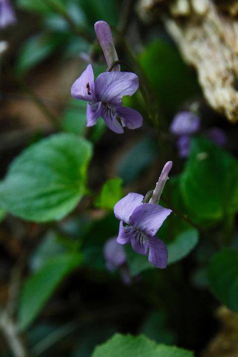 ナガハシスミレ 手前の花の距にはいくつか小突起がありました