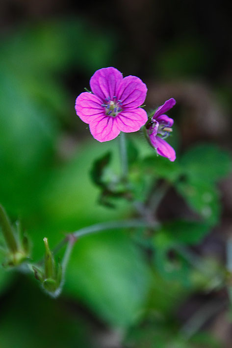 ゲンノショウコ (現の証拠) フウロソウ科 フウロソウ属 紅紫色は西日本に多い