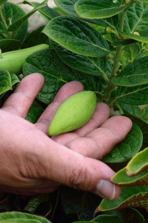 袋果は広披針形で、長さは4〜6cmもあった。 触るとけっこう堅い。