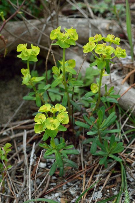 ハギクソウの花期の葉は、キクの花のようには見えません