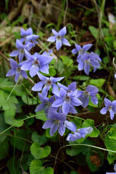ここのタチツボスミレは花弁がとがり、シャープな顔つきをしていた