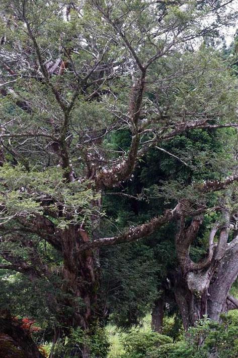 セッコクがカヤの古木にビッシリついていた。 でも遠い・・