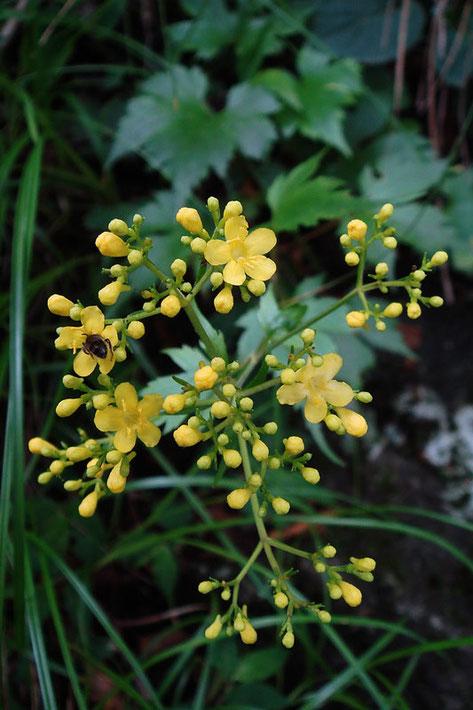 キンレイカの花