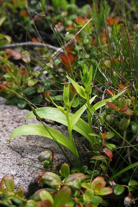 タカネサギソウ (高嶺鷺草) ラン科 ツレサギソウ属