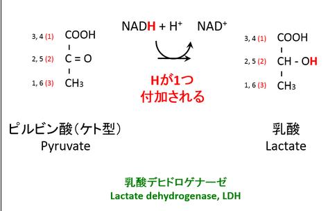 ピルビン酸からの乳酸生成