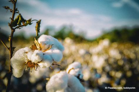 cotton Baumwolle Organic Cotton Bio-Baumwolle organisch ökologisch konventionell schädlich Verantwortung