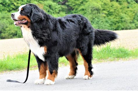 Berner Sennenhund Zuchtrüde Wizard z Lubinia Wielkopolskiego