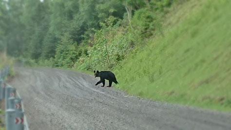 カムイワッカ湯の滝へ行く道中で遭遇したヒグマ